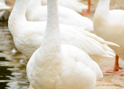 Goosey Goosey Gander.jpg