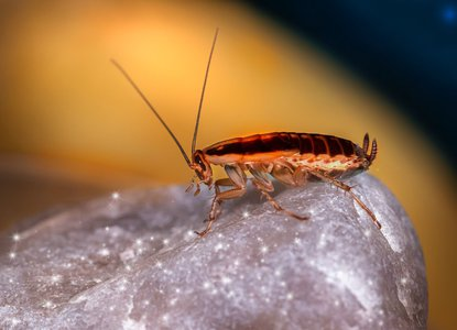 La Cucaracha.jpg